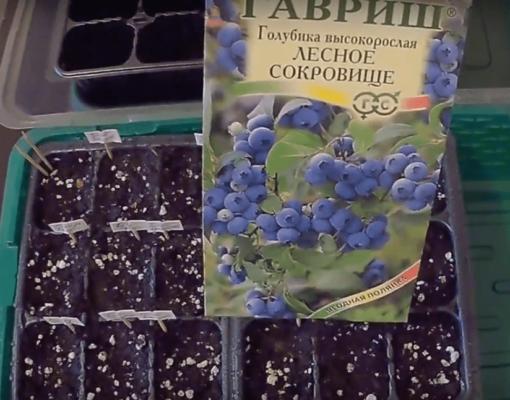 Голубика из семян