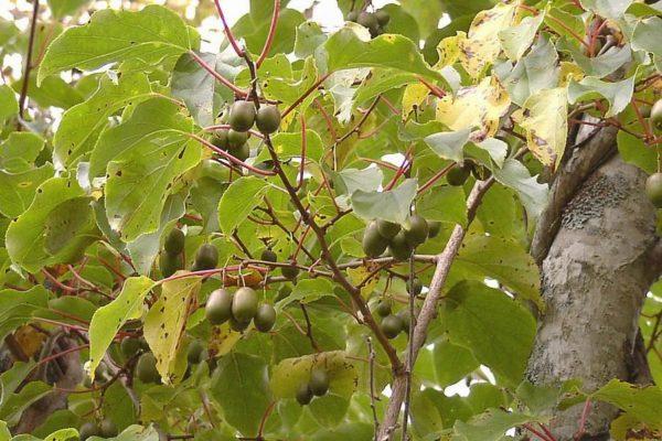 Плоды актинидии аргута сорта Зелёный бальзам