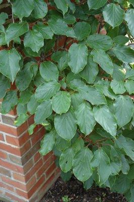 Листья актинидии аргута Вейки мужские