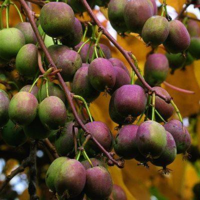 Плоды актинидии аргута Вейки женской