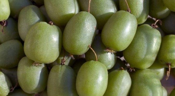 Плоды актинидии аргута Кокува