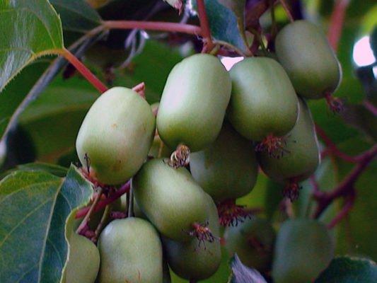 Плоды актинидии аргута Эстафета