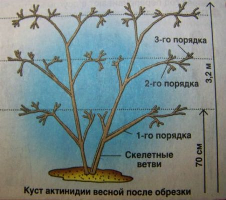 Схема обрезки актинидии