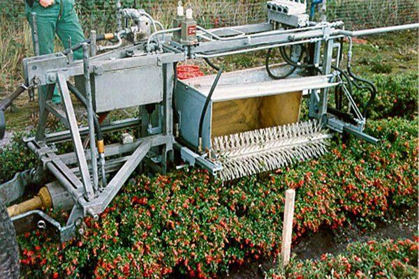 Выращивание брусники в промышленных масштабах