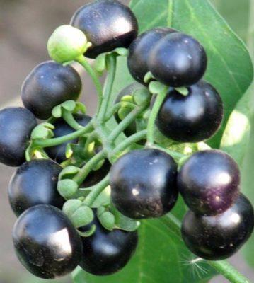 Плоды Санберри