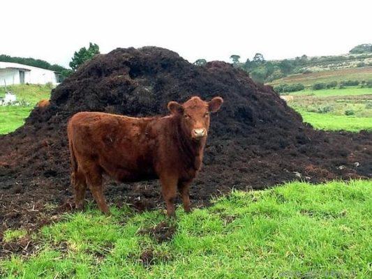 Корова на фоне навозной кучи