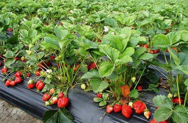 Кусты земляники Фестивальной с ягодами на нетканом материале