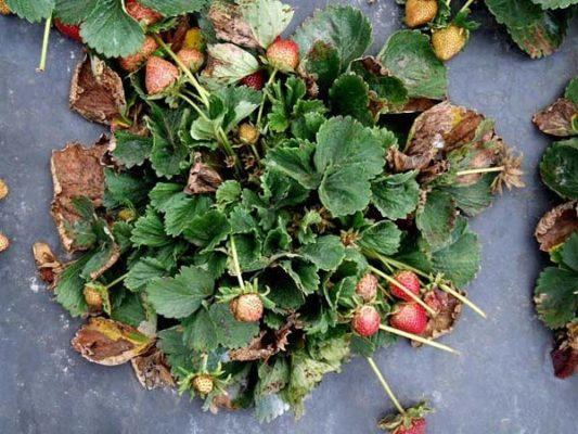 Куст земляники с засохшими листьями
