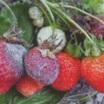 Серая гниль на ягодах земляники