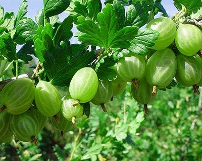 Уральский виноград