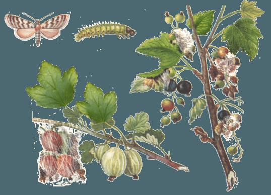 Огнёвка и поражённые части растений