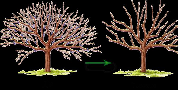 Кизил в форме дерева