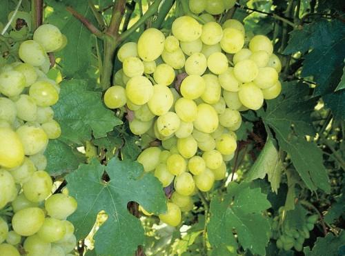Листья винограда сорта Кристалл