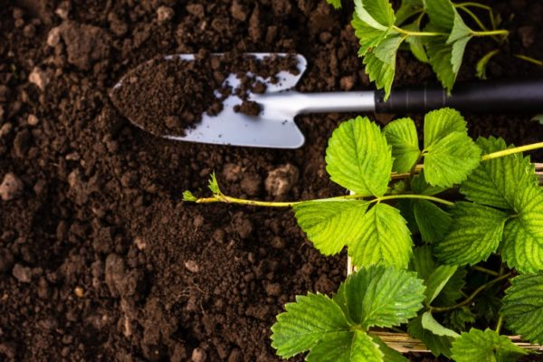 Подготовка почвы для посадки клубники
