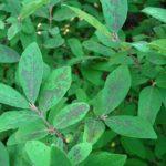 Сажистый грибок на листьях жимолости