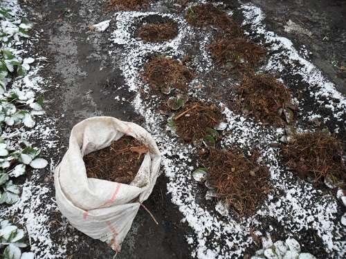 Подготовка земляники к зиме