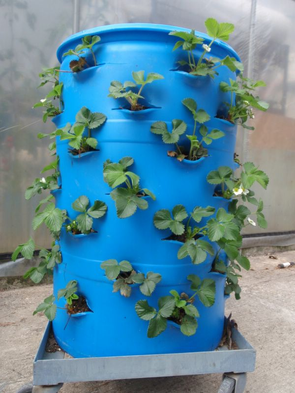 Как посадить клубнику в бочке вертикально фото