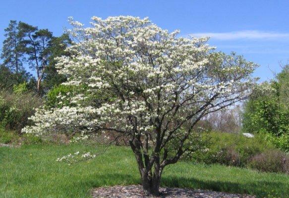Цветущее дерево кизила