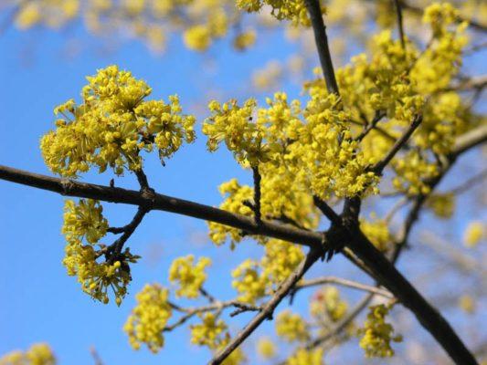 Цветочная пыльца на ветке кизила