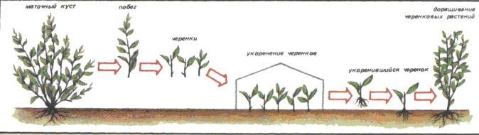 Схема размножения кизила черенками