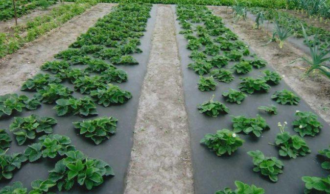 Шахматная высадка садовой земляники