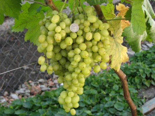 Плоды винограда Краса Севера
