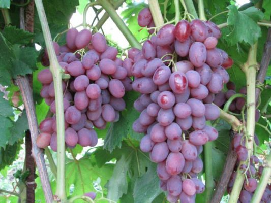 Гроздь винограда Румба