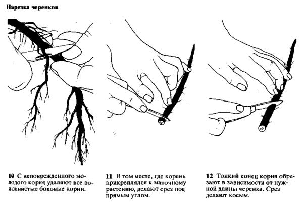 Заготовка корневых черенков
