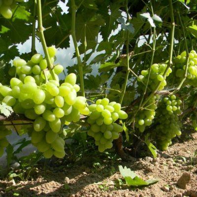 виноград Тукай