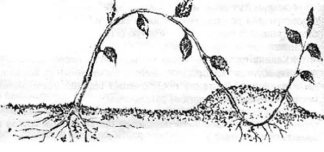 Размножение ежевики верхушкой