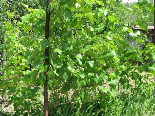 Кусты винограда Изабелла