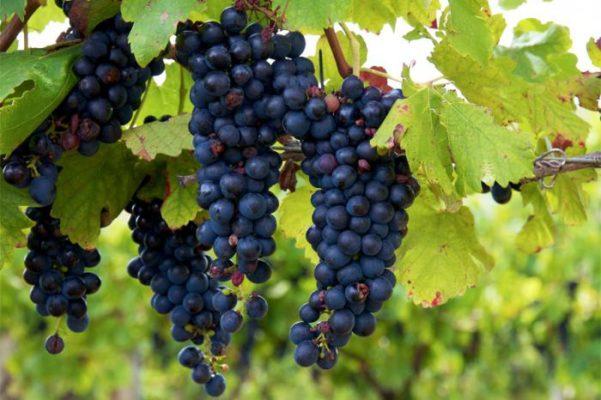 Кисти винограда Изабелла