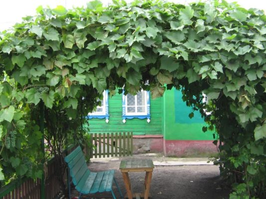 Виноград в ландшафтном дизайне