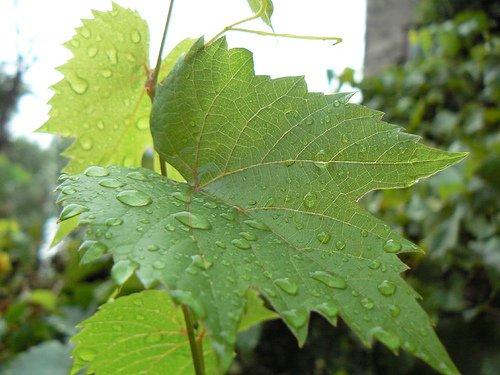 Листья винограда Изабелла