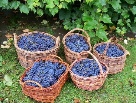 Урожай винограда Изабелла