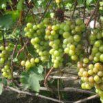 Виноград Русвен