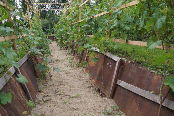 Траншея для винограда