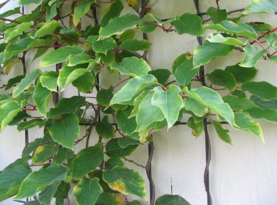 Листья актинидии аргута