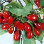 Зреющие плоды сорта Евгения