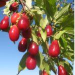 Плоды кизила Вышгородский