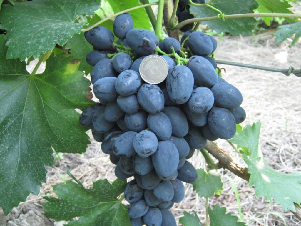 виноград забава видео