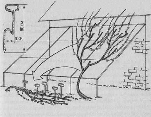 Схема размещения виноградной лозы