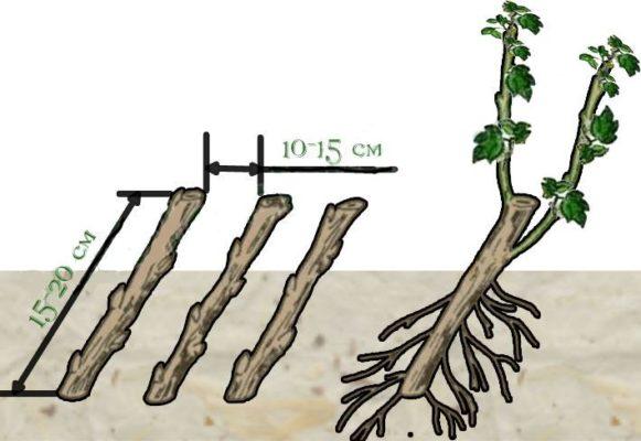 Пример высадки черенков йошты