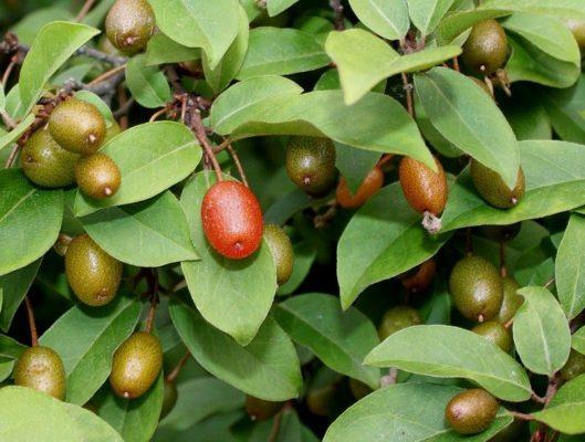 Зелёные ягоды