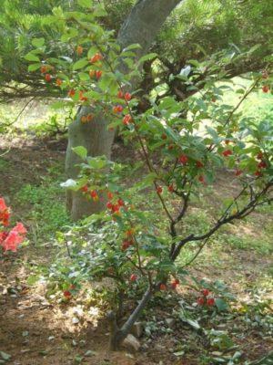 Кустик гуми под деревьями