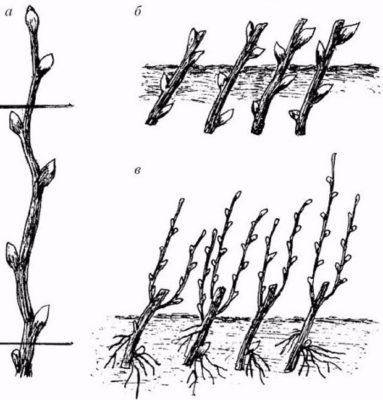 Размножение барбариса одревесневшими черенками