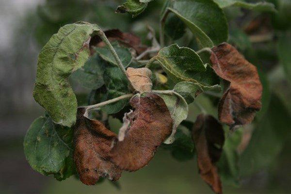 Бурая пятнистость на листьях яблони