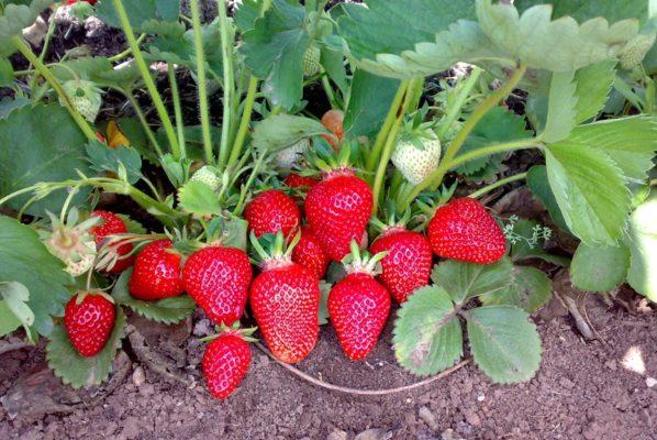 Куст клубники Клери с ягодами