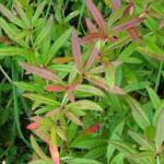 Барбарис Oxyphylla