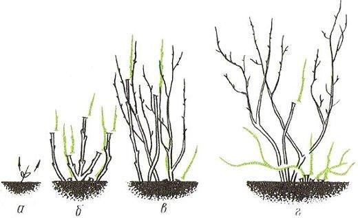 Схема формирования калины кустом